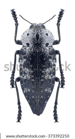 Beetle metallic wood borer Capnodis miliaris miliaris on a white background - stock photo