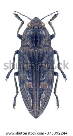 Beetle metallic wood borer Chalcophora mariana on a white background - stock photo