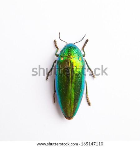 Beetle metallic wood jewelry beetle, Sterocera acquisignata Saunders isolated on white  - stock photo