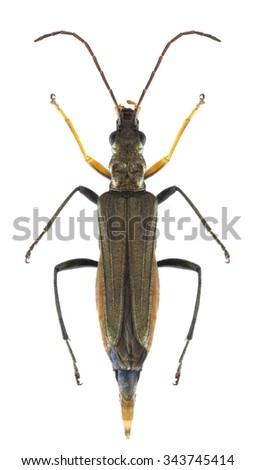 Beetle Oedemera flavipes (female) on a white background - stock photo