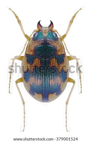 Beetle Omophron limbatum on a white background - stock photo