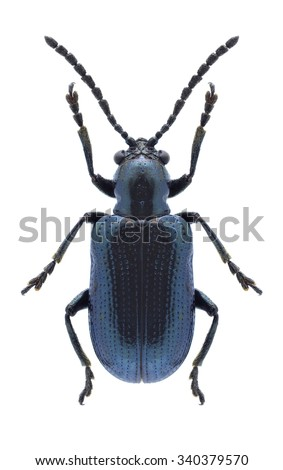 Beetle Oulema gallaeciana on a white background - stock photo
