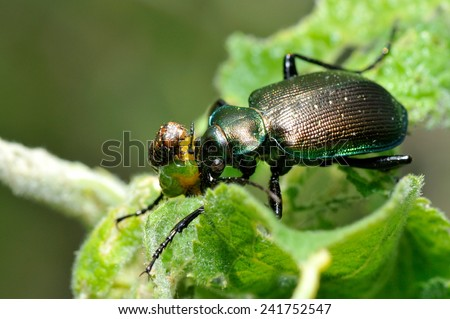 Beetle outdoor on leaf