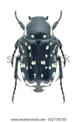 Beetle Oxythyrea cinctella on a white background - stock photo