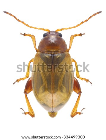 Beetle Psylliodes marcida on a white background - stock photo