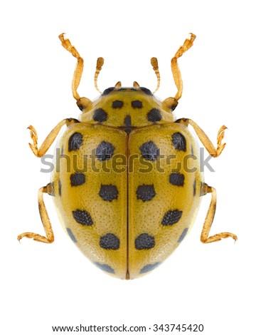 Beetle Psyllobora vigintiduopunctata on a white background - stock photo