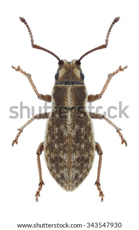 Beetle Ptochus porcellus on a white background - stock photo