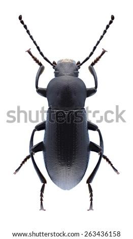 Beetle Raiboscelis eleodinus (male) on a white background - stock photo