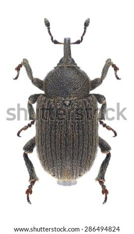 Beetle Rhinusa collina on a white background - stock photo