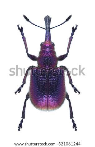 Beetle Rhynchites bacchus on a white background - stock photo