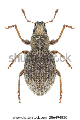 Beetle Sciaphilus asperatus on a white background - stock photo
