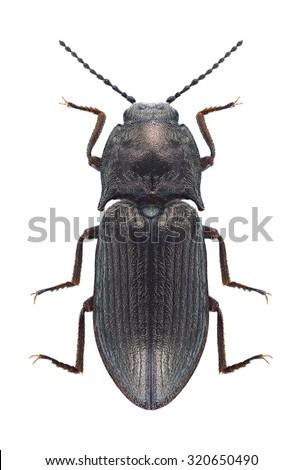 Beetle Selatosomus latus on a white background - stock photo