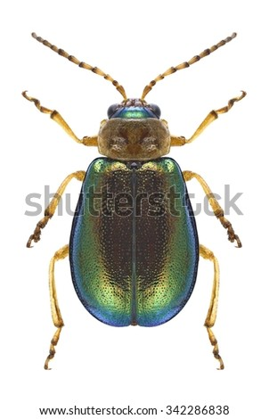 Beetle Sermylassa halensis on a white background - stock photo