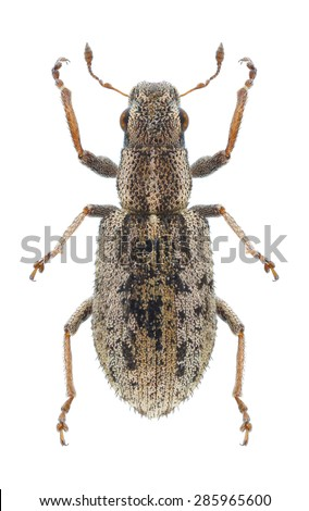 Beetle Sitona macularius on a white background - stock photo