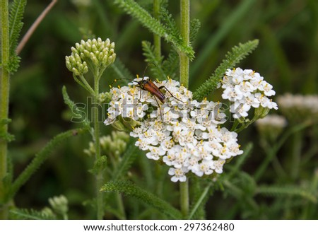 Beetle sitting on the white flowers. Fields and meadows - stock photo