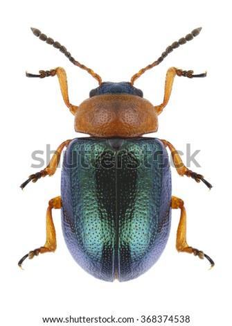Beetle Smaragdina salicina on a white background - stock photo