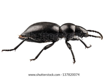 beetle species Tentyria peiroleri  in high definition with extreme focus isolated on white background