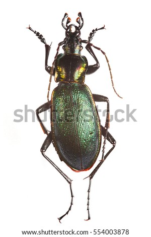 Beetle specimen. Focus stacked macro image of Carabus olympiae (a species of ground beetle, Carabidae).