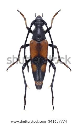 Beetle Stenurella bifasciata on a white background - stock photo