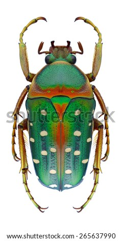 Beetle Stephanorrhina bella on a white background - stock photo