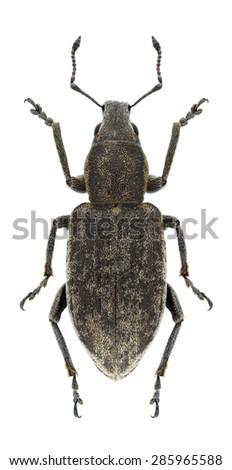 Beetle Tanymecus palliatus on a white background - stock photo