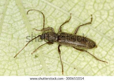 beetle Trichoferus campestris in natural habitat - stock photo