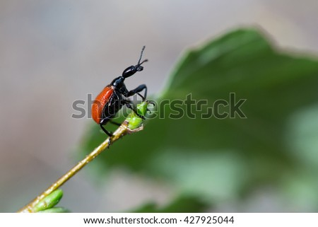 Beetle walnut weevils on birch leaf. - stock photo