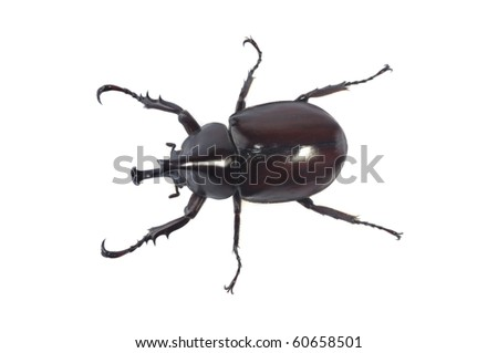 Beetle wing is also known as hard or that Xylotrupes gideon.