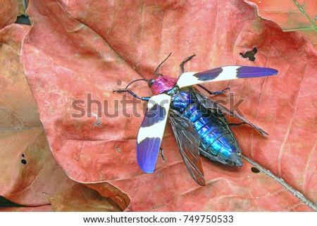red speckled jewel beetle pdf