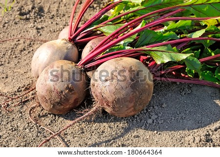 Beetroot in a vegetable garden, close up view - stock photo
