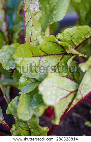 Beetroot leaves growing outdoors - stock photo