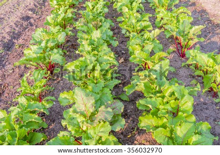 Beets in the organic vegetable garden.