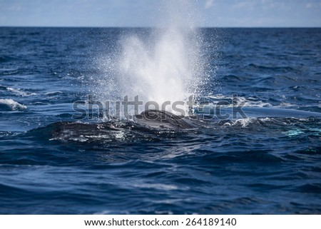 Before breathing, a Humpback whale (Megaptera novaeangliae) blows at the surface of the Atlantic Ocean. This endangered species migrates to the Caribbean each winter to breed or give birth. - stock photo