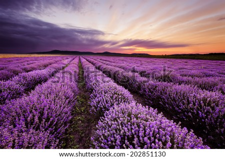 Before sunrise in lavender field - stock photo