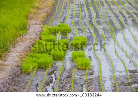 Before the rice. - stock photo