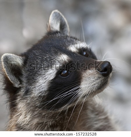 Begging look of a raccoon. The head of cute and cuddly animal, that can be very dangerous beast. Side face portrait of the excellent representative of the wildlife. - stock photo