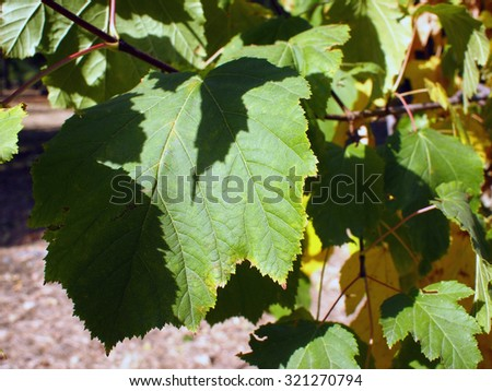 Beginning of autumn. Green leaves close-up that begin to turn yellow. Selective focus. - stock photo