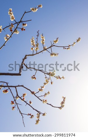 Beginning of the plum bloom in early spring - stock photo