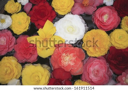 Begonia - stock photo