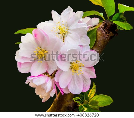 Begonia(Chaenomeles or Chinese flowering crab apple )on black background.      - stock photo
