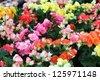 begonia flower. - stock photo