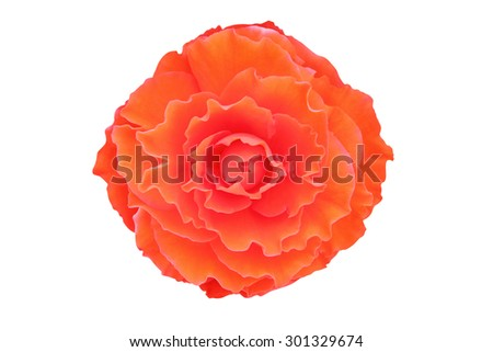 Begonia flower isolated on white background  - stock photo