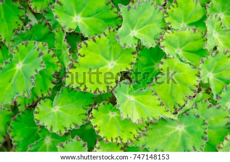 Begonia leaves background