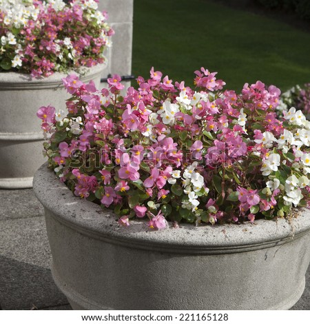 Begonia semperflorens Link & Otto in the stone vase as a decoration of garden - stock photo