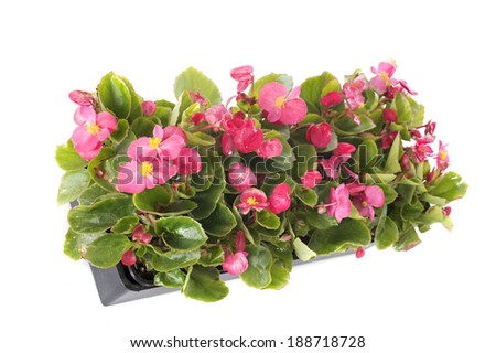 begonias plants in front of white background