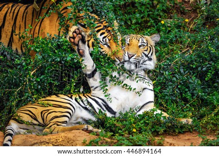 Behavior of the tiger. - stock photo