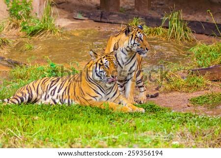 Behavior of the Tiger the breeding period - stock photo