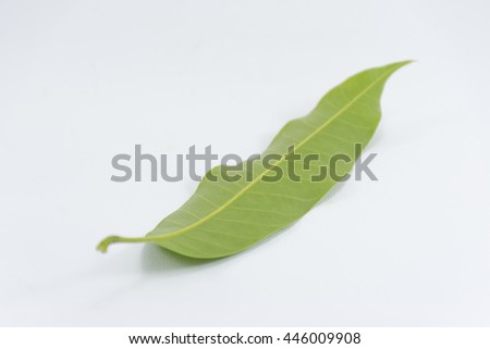 Behind Leaf mango isolated on white background object is green and fresh