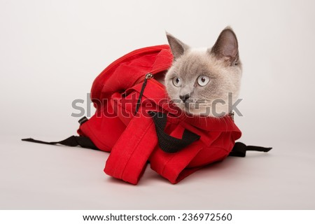 Beige cat in a red bag, photographed on a white background  - stock photo