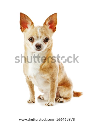 Beige chihuahua dog isolated on white background. Closeup.